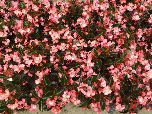 Begonia                                       x benariensis F₁                                       BIG                                       Pink Bronze Leaf