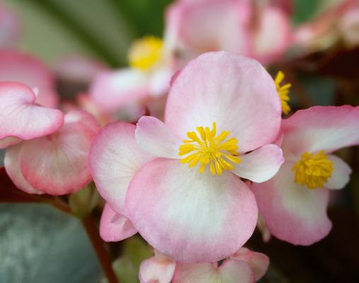Begonia                                       semperflorens F₁                                       Nightlife                                       Blush