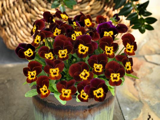 Viola                                       cornuta F₁                                       Admire®                                       Ruby Gold