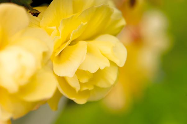 Begonia                                       tuberhybrida F₁                                       Illumination®                                       Lemon
