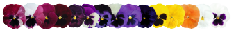 Viola                                       wittrockiana F₁                                       Inspire® DeluXXe                                       Wine & Roses Mix