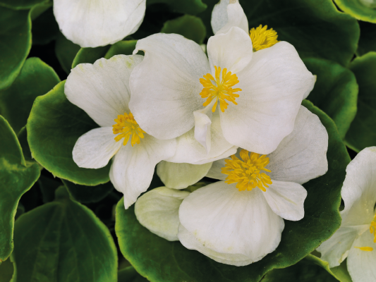 Begonia                                       semperflorens F₁                                       Sprint Plus                                       White