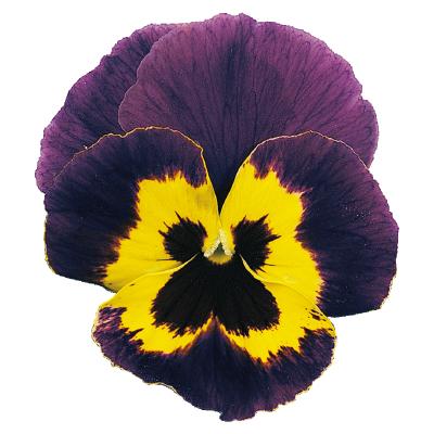Viola                                       wittrockiana F₂                                       Joker                                       Violet-Gold