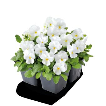 Viola                                       cornuta F₁                                       Admire®                                       White