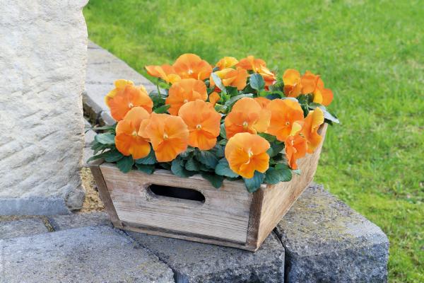 Viola                                       wittrockiana F₁                                       Inspire® DeluXXe                                       Orange