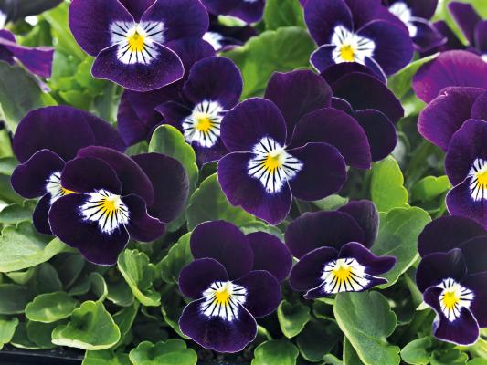 Viola                                       cornuta F₁                                       Admire®                                       Purple White Face