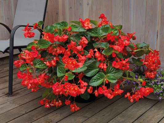 Begonia                                       x benariensis F₁                                       BIG DeluXXe                                       Red Green Leaf