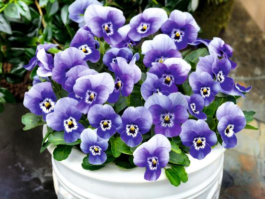 Viola                                       cornuta F₁                                       Admire®                                       Deep Marina