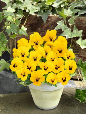 Viola                                       cornuta F₁                                       Admire®                                       Yellow Blotch