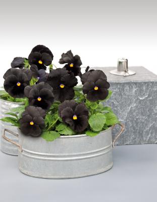 Viola                                       wittrockiana F₁                                       Atlas                                       Black