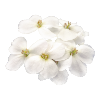 Arabis                                       caucasica                                       Catwalk                                       White