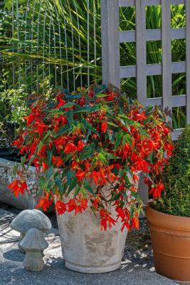 Begonia                                       boliviensis F₁                                       Groovy                                       Orange
