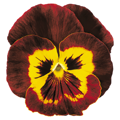Viola                                       wittrockiana F₂                                       Joker                                       Mahogany & Gold