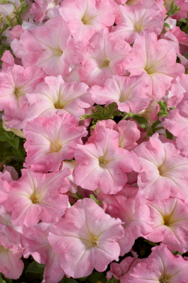 Petunia                                       x hybrida multiflora F₁                                       Celebrity                                       Chiffon Morn