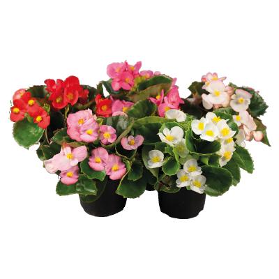 Begonia                                       semperflorens F₁                                       Super Olympia®                                       Mix