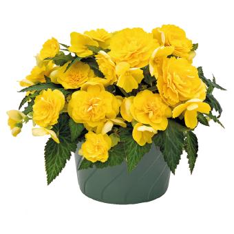 Begonia                                       tuberhybrida F₁                                       Nonstop® Joy                                       Yellow