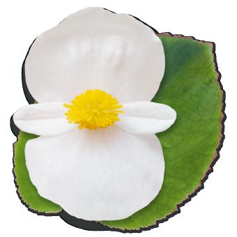 Begonia                                       x benariensis F₁                                       BIG                                       White Green Leaf