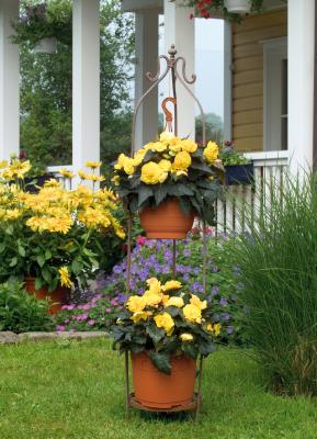 Begonia                                       tuberhybrida F₁                                       Nonstop® Mocca                                       Yellow