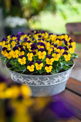 Viola                                       cornuta F₁                                       Admire®                                       Yellow Purple Wing