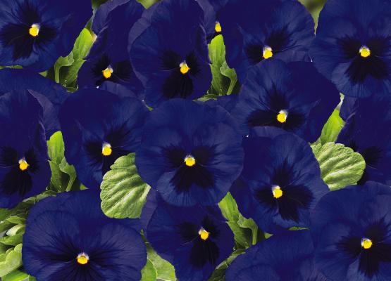 Viola                                       wittrockiana F₁                                       Inspire® DeluXXe                                       Deep Blue Blotch