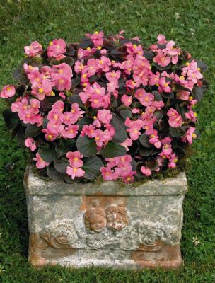 Begonia                                       semperflorens F₁                                       Nightlife                                       Deep Rose