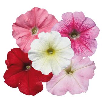 Petunia                                       x hybrida multiflora F₁                                       Celebrity                                       Desert Sky Mix
