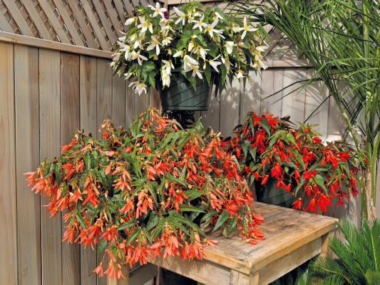 Begonia                                       boliviensis F₁                                       Sun Cities Collection