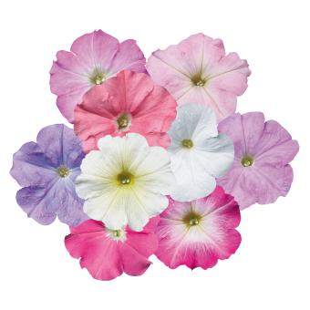 Petunia                                       x hybrida multiflora F₁                                       Celebrity                                       Pastel Mix