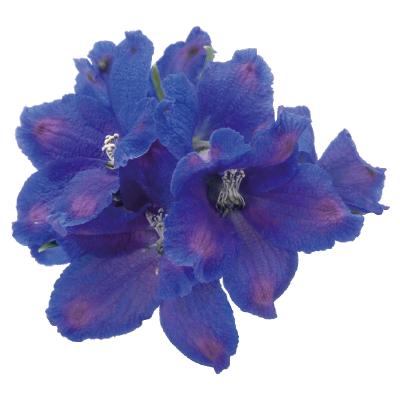 Delphinium                                       grandiflorum                                       Blue Mirror