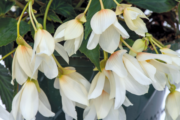 Begonia                                       boliviensis F₁                                       Groovy                                       White