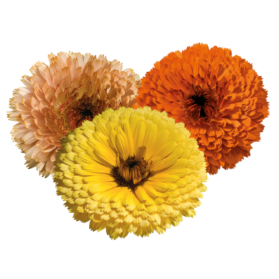 Calendula                                       officinalis                                       Touch of Red                                       Mix