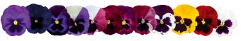 Viola                                       wittrockiana F₁                                       Inspire® DeluXXe                                       Blotch Mix