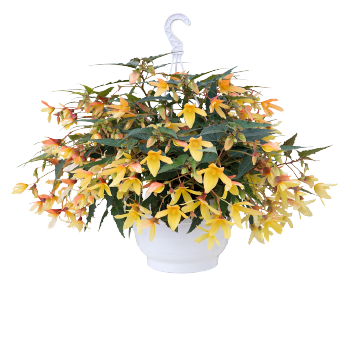 Begonia                                       boliviensis F₁                                       Groovy                                       Mellow Yellow