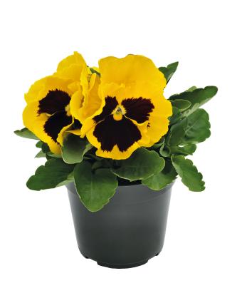 Viola                                       wittrockiana F₁                                       Inspire® DeluXXe                                       Yellow Blotch