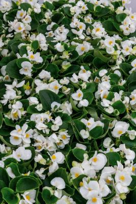Begonia                                       semperflorens F₁                                       Super Cool                                       White