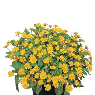 Melampodium                                       paludosum                                       Derby®