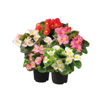 Begonia                                       semperflorens F₁                                       Super Olympia®