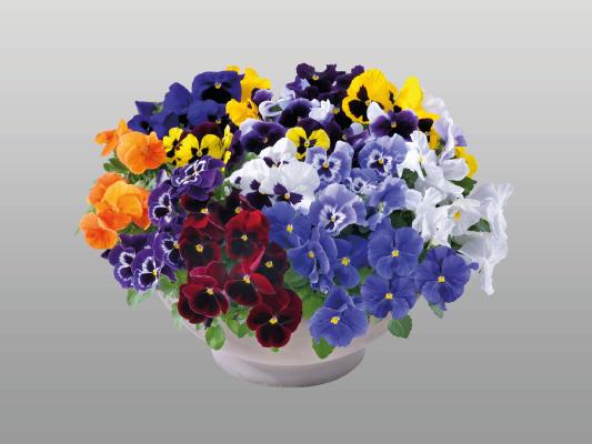 Viola                                       wittrockiana F₁                                       Inspire® Plus