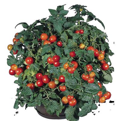 Solanum                                       lycopersicum L.                                       Gardener's Delight