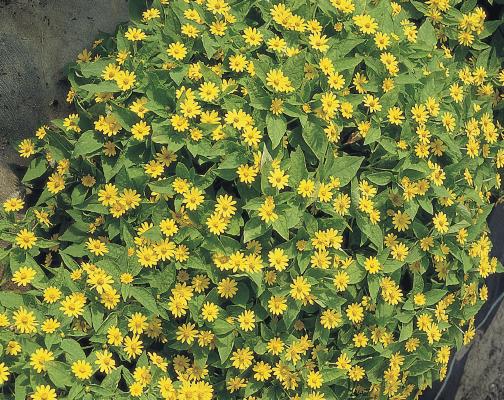 Melampodium                                       paludosum                                       Showstar®