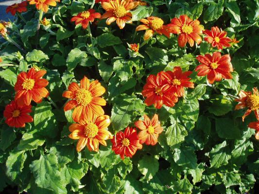 Tithonia                                       rotundifolia                                       Fiesta del Sol