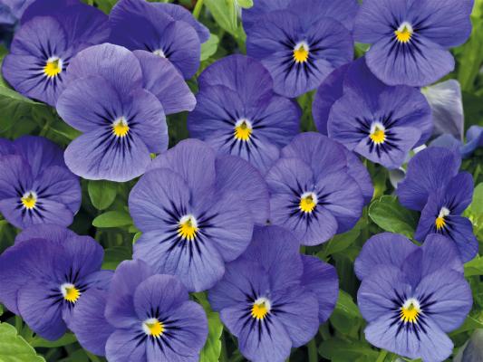 Viola                                       cornuta F₁                                       Admire®                                       Blue