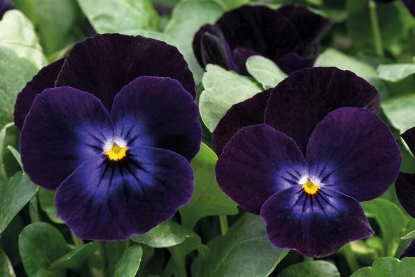 Viola                                       cornuta F₁                                       Admire®                                       Deep Purple Face