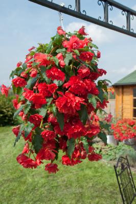 Begonia                                       tuberhybrida F₁                                       Illumination®                                       Rose