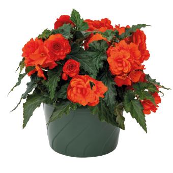 Begonia                                       tuberhybrida F₁                                       Nonstop® Joy                                       Orange