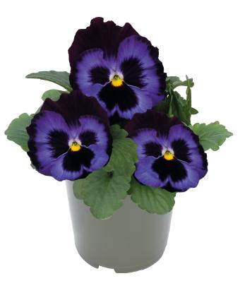 Viola                                       wittrockiana F₁                                       Inspire® DeluXXe                                       Denim