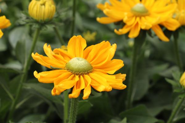 Rudbeckia                                       hirta                                       Amarillo                                       Gold