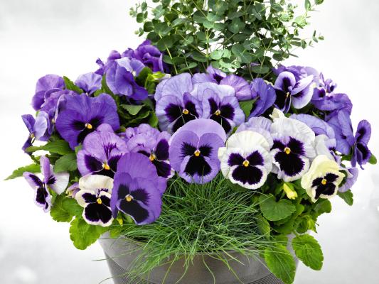 Viola                                       wittrockiana F₁                                       Inspire® DeluXXe                                       Ocean