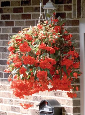 Begonia                                       tuberhybrida F₁                                       Illumination®                                       Orange