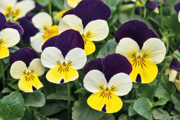 Viola                                       cornuta F₁                                       Admire®                                       Lemon Purple Wing